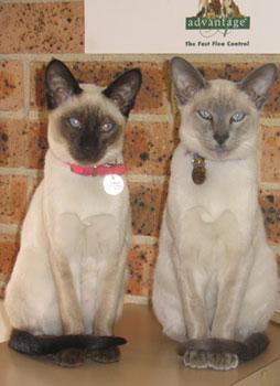 Kurmond Veterinary Clinic Two Cats